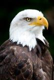白头鹰纵向 库存照片
