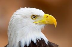 白头鹰纵向 图库摄影