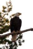 白头鹰被栖息的结构树 免版税库存图片
