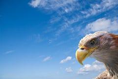 白头鹰通配空间的文本 库存图片