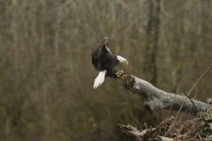 白头鹰鱼飞行 库存图片