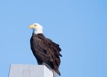 白头鹰,佛罗里达 免版税库存照片
