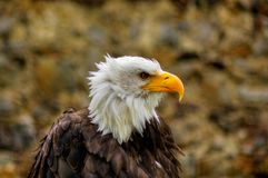白头鹰-奥勒尔号Belohlavy 免版税库存图片