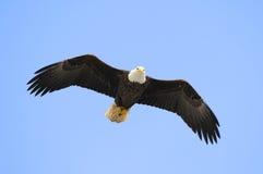 白头鹰 免版税库存图片