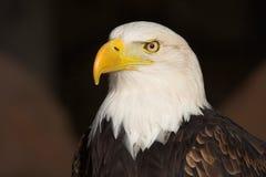 白头鹰 图库摄影