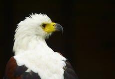 白头鹰 免版税图库摄影