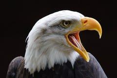 白头鹰 免版税库存照片
