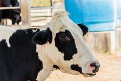 黑白奶牛 关闭母牛` s头 免版税库存照片