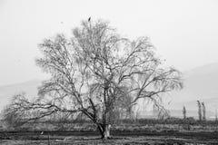 黑白孤立树 免版税库存照片