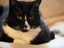 黑白宠物猫 免版税库存图片