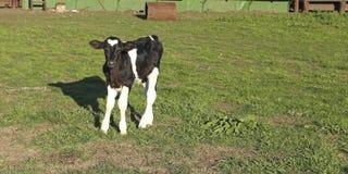 黑白小小牛的皮革。 免版税库存图片