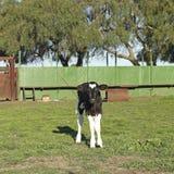 黑白小小牛的皮革 免版税库存照片