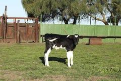 黑白小小牛的皮革 库存图片