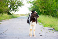 黑白小牛 库存照片