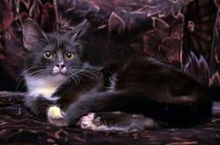 黑白小猫 免版税库存照片