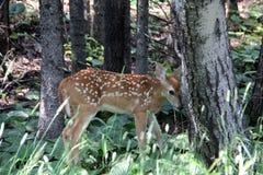 白尾小鹿,掩藏在白杨树 库存图片