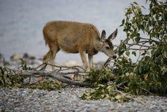 白尾小鹿 免版税库存照片