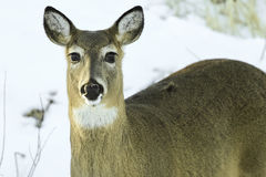白尾母鹿关闭 库存照片