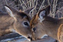 白尾母鹿和小鹿哺养 库存图片
