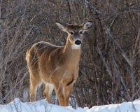 白尾母鹿在冬天 免版税库存照片