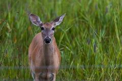 白尾谨慎母鹿神色往照相机 图库摄影