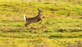 白尾鹿中间飞行警报尾巴 库存照片