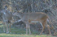 白尾鹿做在森林地开头的身分 图库摄影