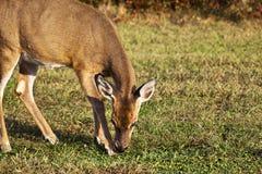 白尾鹿哺养 免版税图库摄影