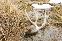 白尾鹿在地面的棚子鹿角在沼泽 库存照片