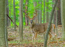 白尾鹿在天鹅绒顽抗 库存图片