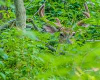 白尾鹿在天鹅绒顽抗 免版税库存图片