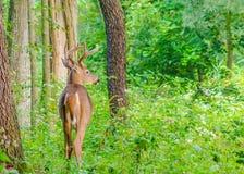 白尾鹿在天鹅绒顽抗 免版税库存照片