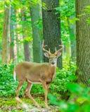 白尾鹿在天鹅绒顽抗 库存照片