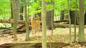 白尾鹿在天鹅绒顽抗 股票视频