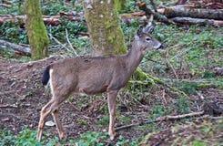 白尾鹿在森林里 免版税库存图片