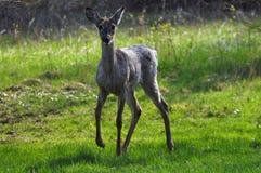 白尾鹿在森林 免版税库存照片