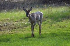 白尾鹿在森林 图库摄影