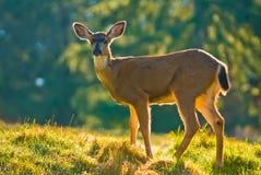 白尾鹿在草甸 免版税库存照片