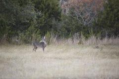 白尾鹿在蕃茄啃 免版税库存图片