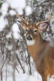 白尾鹿大型装配架冬天车轮痕迹 库存图片