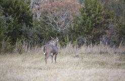 白尾鹿大型装配架分析他的周围 库存照片