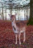 白尾鹿大型装配架在树下 免版税库存照片