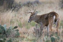 白尾鹿大型装配架支持的仙人掌 免版税图库摄影