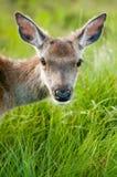 白尾鹿大型装配架纵向 库存照片