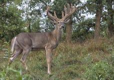 白尾鹿大型装配架鹿外形 免版税库存图片