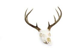 白尾鹿大型装配架鹿角和头骨 免版税库存照片