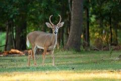 白尾鹿大型装配架鹿 库存照片