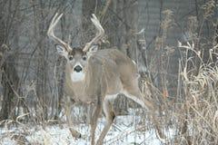 白尾鹿大型装配架-冬天交锋 库存图片