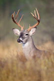 白尾鹿大型装配架画象 库存图片
