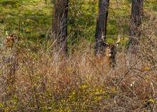 白尾鹿大型装配架 免版税图库摄影